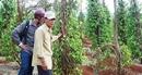 Chưa rõ mục đích thương nhân Trung Quốc mua rễ hồ tiêu