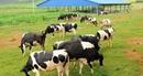 Vinamilk dần tự chủ nguồn nguyên liệu cho sản xuất sữa