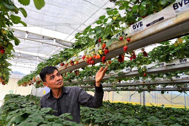 Anh Bùi Ngọc Minh bên trang trại dâu giống Mỹ sai trĩu quả.