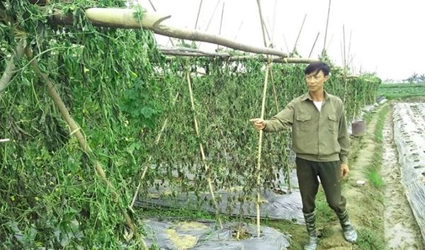 Ông Phạm Văn Định xót xa bên ruộng rau bị tàn phá.