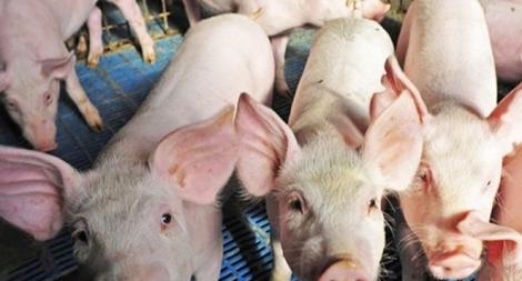 Lực lượng Công an tăng cường ngăn chặn dịch tả lợn châu Phi vào Việt Nam