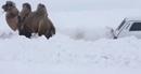 """Lạc đà """"giải cứu"""" xe Lada Niva bị mắc kẹt trong tuyết"""