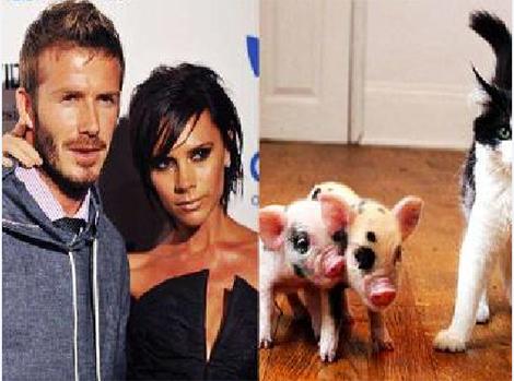 Cặp lợn siêu nhỏ của gia đình Beckham.