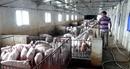 Nghịch lý thừa thịt lợn nhưng không thể xuất khẩu
