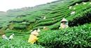 Việt Nam là nguồn cung cấp chè lớn nhất cho thị trường Đài Loan