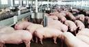 Giá lợn hơi trong nước tăng