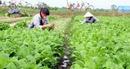 Vĩnh Phúc tập trung phát triển cây nông nghiệp chủ lực