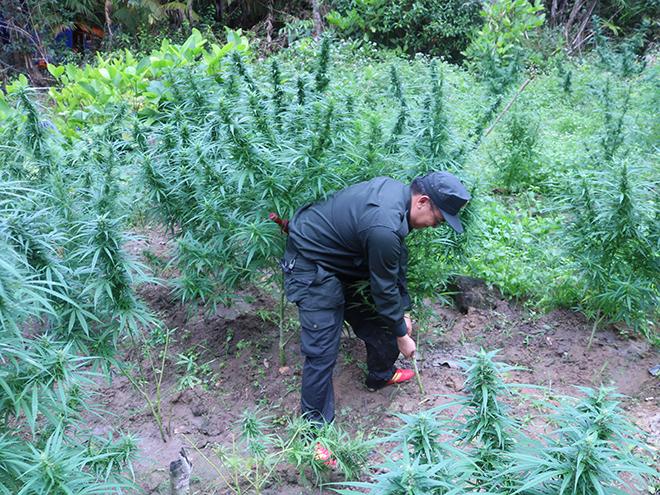Băng rừng triệt phá các vườn cần sa trái phép - Ảnh minh hoạ 2
