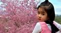 Đà Lạt nhuộm hồng sắc hoa mai anh đào