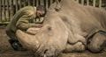 Khoảnh khắc động lòng trước khi con tê giác trắng Bắc Phi đực cuối cùng qua đời