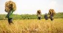 Hiệp hội Lương thực Việt Nam đề nghị hội viên thu mua lúa cho nông dân