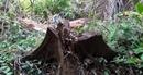 Rừng tự nhiên Cà Dy bị tàn phá trong thời gian dài