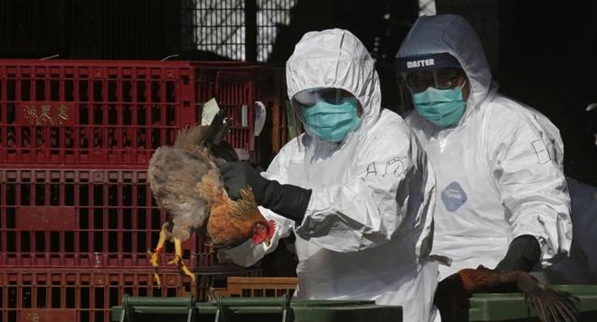Chưa hết virus Corona, lại thêm dịch cúm gia cầm H5N1