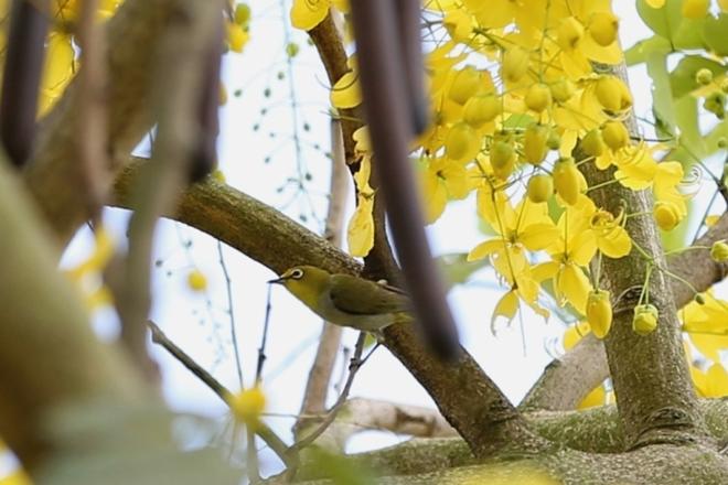 Sắc vàng của hoa Muồng hoàng yến khiến những chú chim khuyên trở nên rực rỡ hơn.
