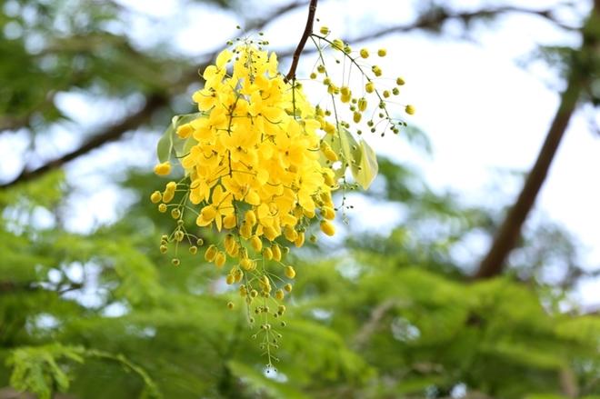 Muồng hoàng yến còn màu hoa vàng tượng trưng cho hoàng gia nên được mệnh danhlà quốc hoa của Thái Lan và được gọi là dok khuen.