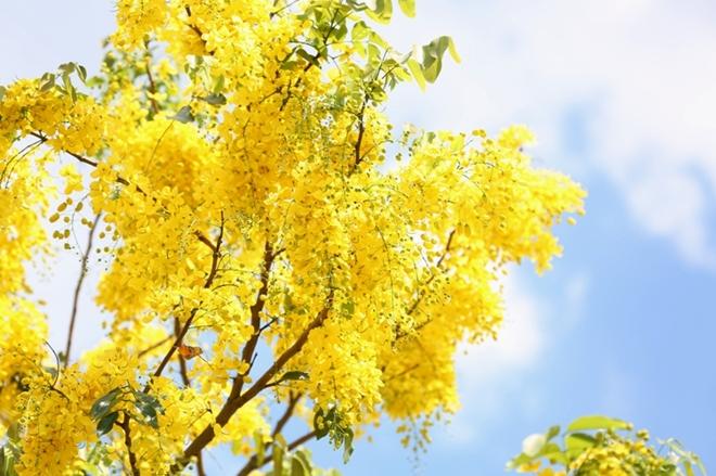 Vẻ đẹp quyến rũ của muồng hoàng yến khiến người ta xao xuyến. Những bông hoa vàng rực nổi bật trên nền trời mùa hè xanh biếc.