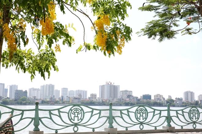 ạTại Thủ đô Hà Nội, loài hoa này trồng nhiều nhất ở tuyến đường quanh Hồ Tây .