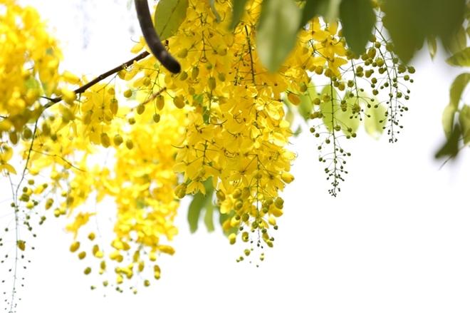 Muồng hoàng yến có nhiều tên gọi khác nhau như muồng hoàng hậu, hoa lồng đèn, bọ cạp nước, cây xuân muộn, mai nở muộn...