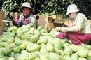 Quả xoài Việt Nam chính thức được xuất khẩu sang Mỹ