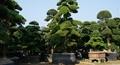 Ngắm vườn tùng cổ thụ độc nhất vô nhị tại Hà Nội
