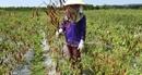Người trồng ớt trắng tay vì không được thu mua