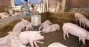 Cả nước có hơn 2.500 trang trại chăn nuôi lợn an toàn sinh học