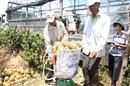 Thu mua dứa cho người nông dân với giá cao