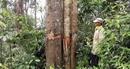 Phản hồi vụ phá rừng tự nhiên giáp ranh Trà Vân – Trà Giáp