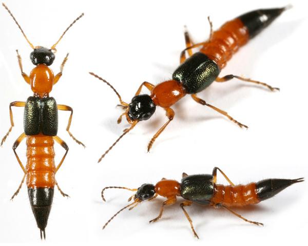 Kết quả hình ảnh cho kiến 3 khoang