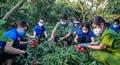 Công an Bắc Giang giúp nông dân thu hoạch vải